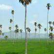 Vietnam-DaLakProvince-Palms