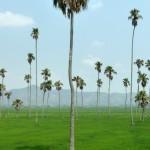 Palm Fields - Vietnam, Central Highlands
