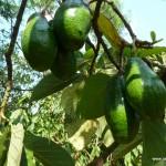 Avocado Tree - Vietnam, Central Highlands