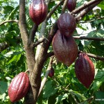 Cocoa Tree - Vietnam, Central Highlands